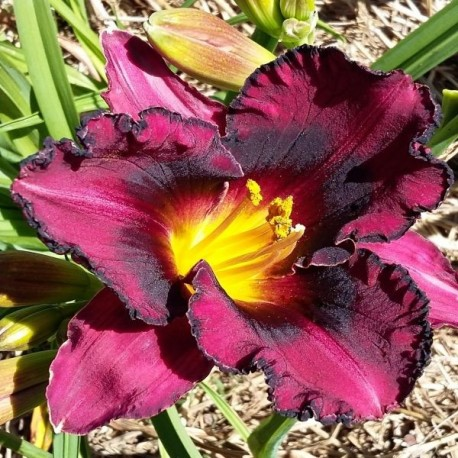 Hemerocallis 'Strawberry and Chocolate'