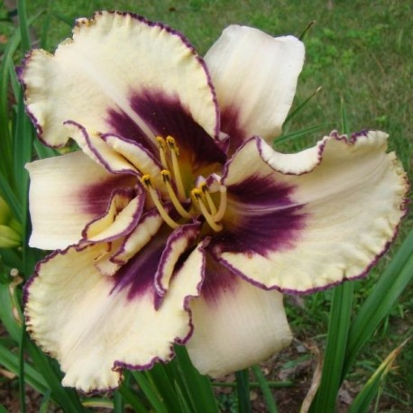Hemerocallis 'Strikingly Dramatic'