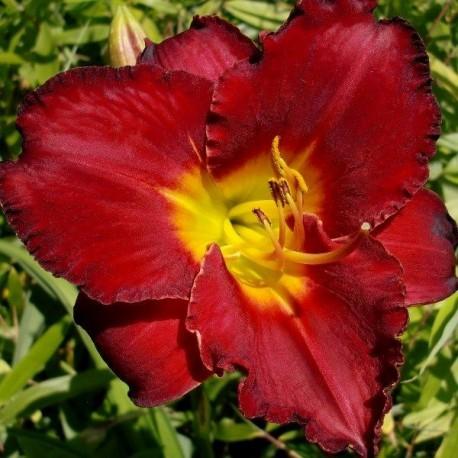 Hemerocallis 'Study in Scarlet'