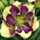 Hemerocallis 'Super Fancy Face'