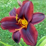 Hemerocallis 'Sweet Hot Chocolate'