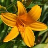 Hemerocallis 'Thumbellina'