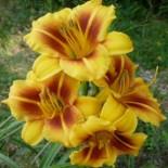 Hemerocallis 'Tiramisu'