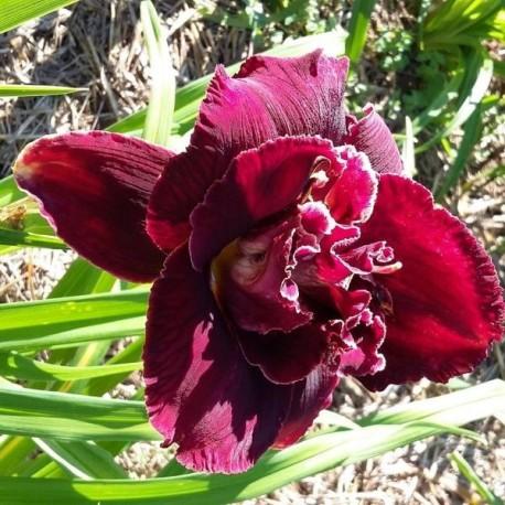 Hemerocallis 'Velvet Onyx'