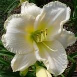 Hemerocallis 'White Perfection'
