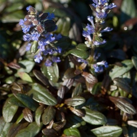 Ajuga x tenorii 'Cocolate Ship'