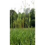 Hemerocallis altissima