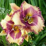 Hemerocallis 'Ann Hathaway's Garden'