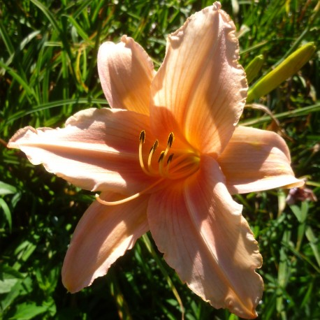 Hemerocallis 'Hello Dolly'
