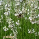 Lavandula angustiflia 'Edelweiss'