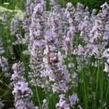 Lavandula angustifolia 'Miss Katherine'