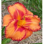 Hemerocallis 'Volcano Queen'