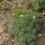 Leptinella hispida