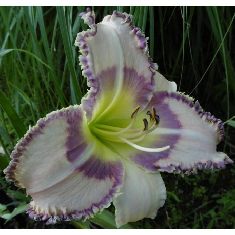 Hemerocallis 'Strobelight Seduction'