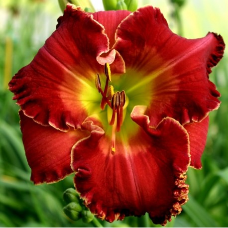 Hemerocallis 'Blazing Cannons'
