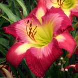 Hemerocallis 'Aaron Brown'
