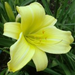 Hemerocallis 'Green Valley'