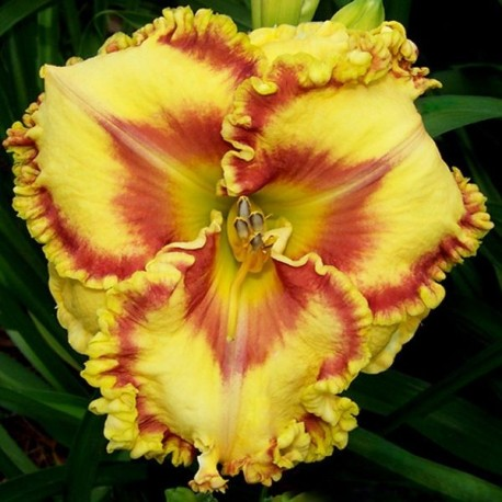 Hemerocallis 'Buntin's Hot Tiggity Dog'
