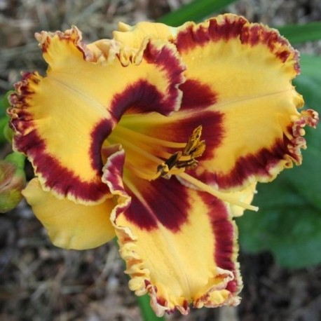Hemerocallis 'Collaboration'