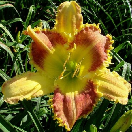 Hemerocallis 'Dentist the Menace'