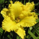 Hemerocallis 'Forestlake Point Lace'
