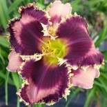 Hemerocallis 'Got Attitude'