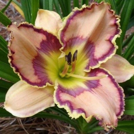 Hemerocallis 'Intricate By Design'
