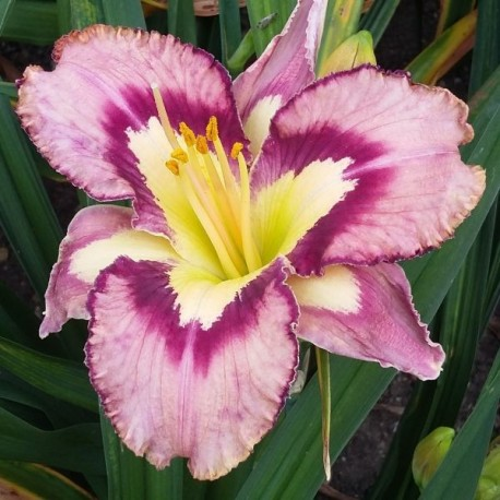 Hemerocallis 'Landon Lee'