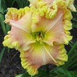 Hemerocallis 'Priceless'
