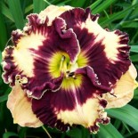 Hemerocallis 'Rock my World'