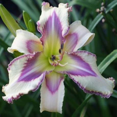 Hemerocallis 'Silky Skies'