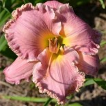 Hemerocallis 'Sister of Praise'