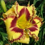 Hemerocallis 'Wickedly Wild and Wonderful'