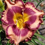 Hemerocallis 'Wrenetta Powell'