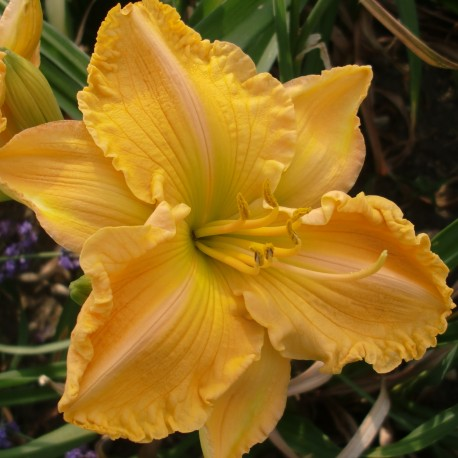 Hemerocallis 'Kate Carpenter'