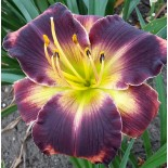 Hemerocallis 'Autumn Concerto'