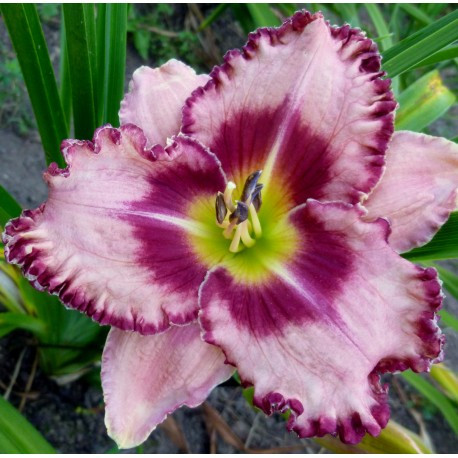 Hemerocallis 'Parrot Tattoo'