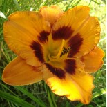 Hemerocallis 'Racing Tiger'