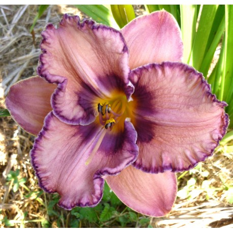 Hemerocallis 'Reflexions in Water'