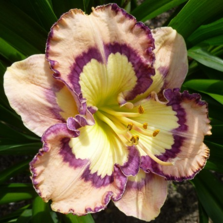 Hemerocallis 'Racing the Moon'