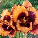 Hemerocallis 'Helen My Love'