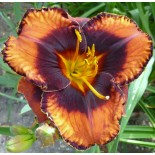 Hemerocallis 'Who Do Voodoo'