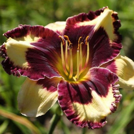Hemerocallis 'Simply Leaves Me Breathless'