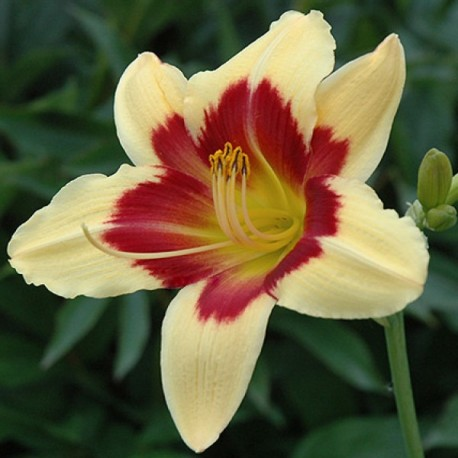 Hemerocallis 'Nefertiti'