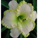 Hemerocallis 'Apple Blossom White'