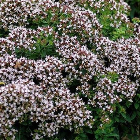 Oreganum vulgare Compactum