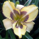 Hemerocallis 'Cat Scratch Fever'