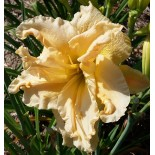 Hemerocallis 'Osiris Chant de l'Ange'