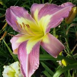 Hemerocallis 'Aerial Applique'