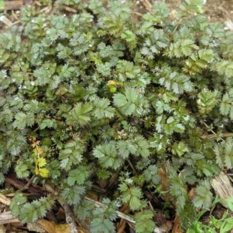 Acaena microphylla 'Grünen Zwerg'